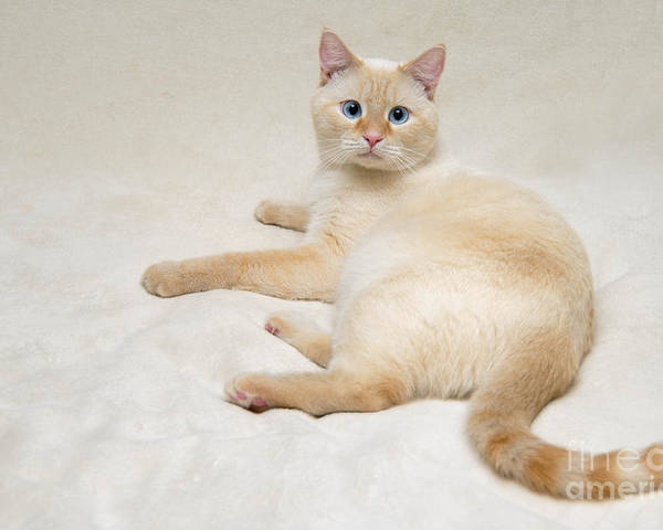 flame point siamese cat poster by amy cicconi