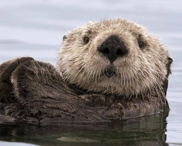 00429873 Poster featuring the photograph Sea Otter Elkhorn Slough Monterey Bay by Sebastian Kennerknecht