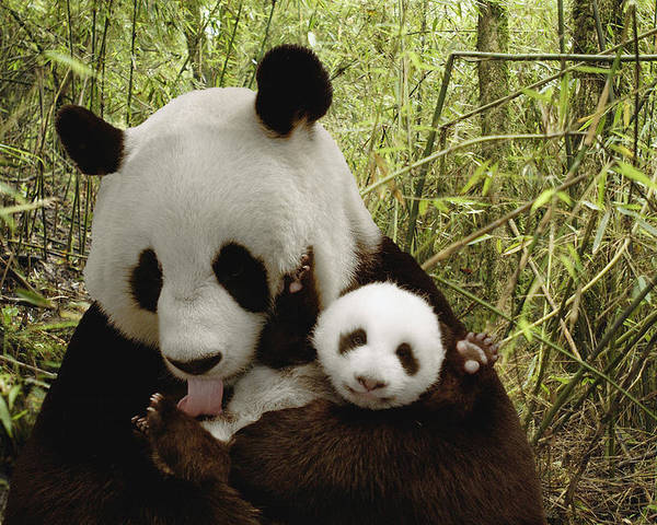 Mp Poster featuring the photograph Giant Panda Ailuropoda Melanoleuca by Katherine Feng
