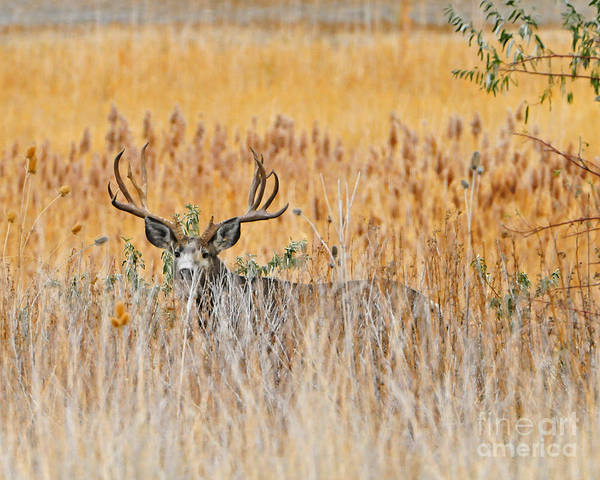 Wildlife: North American Poster featuring the photograph Mule Deer Buck by Dennis Hammer