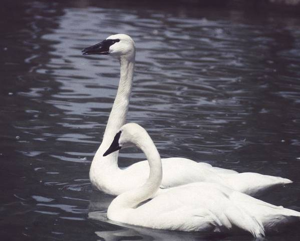 Swan Poster featuring the photograph 92347-8 by Mike Davis