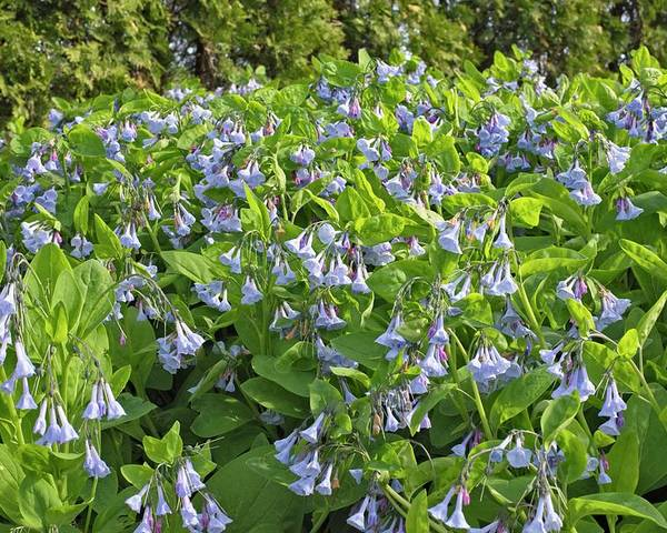 Bluebells Poster featuring the photograph A Bed Of Bluebells by Lawrence Golla