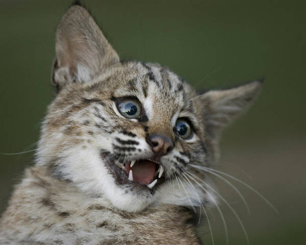 Photography Poster featuring the photograph A Bobcat At A Wildlife Rescue Members by Joel Sartore