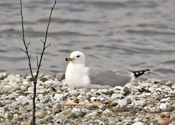 Ring Billed Sea Gull Poster featuring the photograph A Few Moments of Peace by Sally Sperry