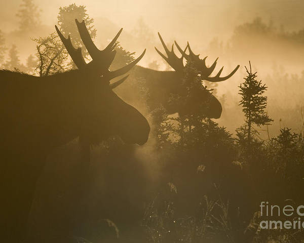 Moose Poster featuring the photograph A Foggy Morning by Tim Grams