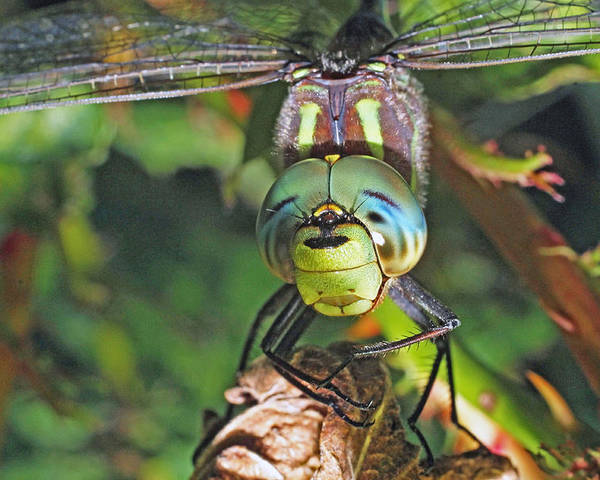 Dragonfly Delphi Falls Cazenovia Poster featuring the photograph A Friendly Dragon by John  Kennedy