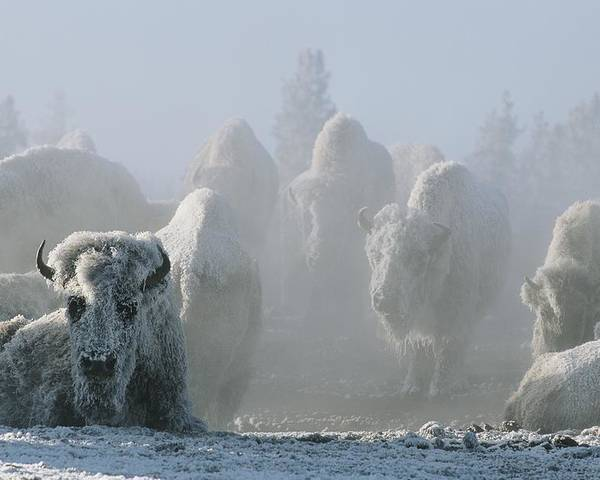 North America Poster featuring the photograph A Frost-covered Herd Of American Bison by Tom Murphy