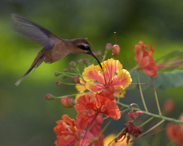 A Little Hermit Hummingbird Drinking Poster