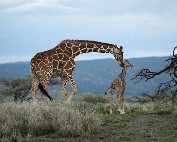 Color Image Poster featuring the photograph A Mother Giraffe Nuzzles Her Baby by Pete Mcbride