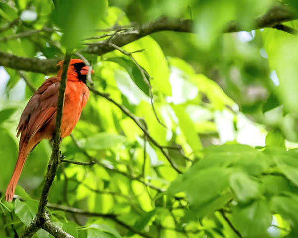 Bird Poster featuring the digital art A Northern Cardinal Enjoying The Springtime by Ed Stines