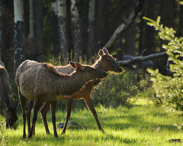 #nature #animals #wilderness #photography #mountain #wildlife Poster featuring the photograph A Pair Of Cow Elk by Rafael Marrero Reiley