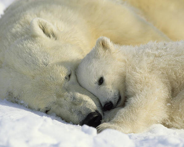Canada Poster featuring the photograph A Polar Bear And Her Cub Napping by Norbert Rosing