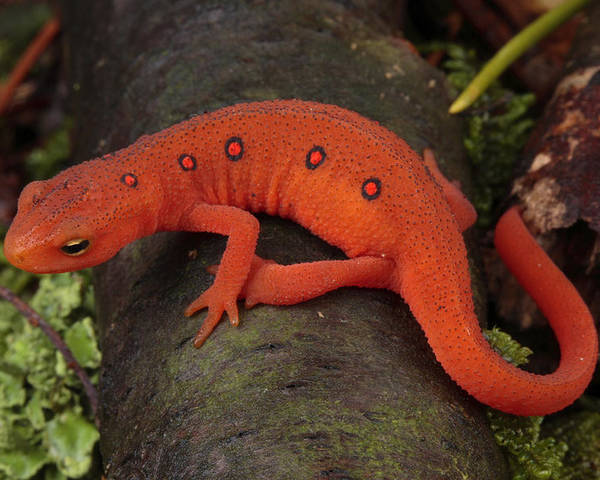 Maryland Poster featuring the photograph A Red Eft Crawls On The Forest Floor by George Grall