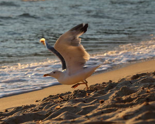 Seagull Poster featuring the photograph A Seagull Starts His Flight by Samantha Mattiello