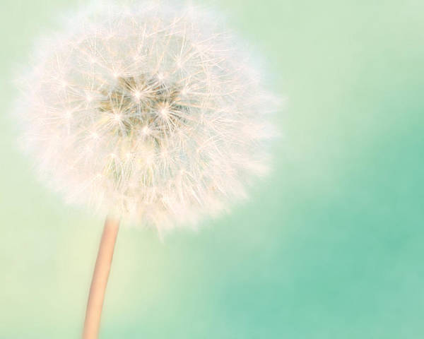 Dandelion Poster featuring the photograph A Single Wish II by Amy Tyler