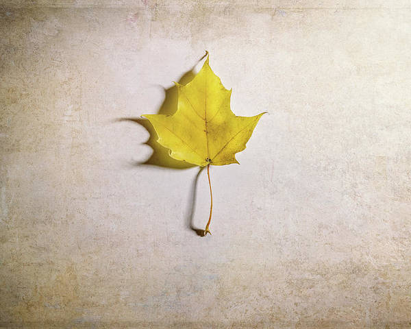 Maple Leaf Poster featuring the photograph A Single Yellow Maple Leaf by Scott Norris