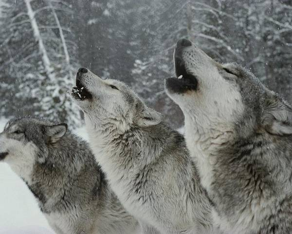 Subject Poster featuring the photograph A Trio Of Gray Wolves, Canis Lupus by Jim And Jamie Dutcher
