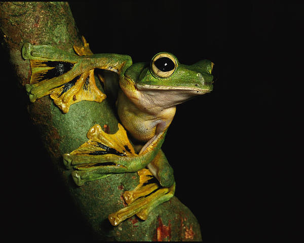 Borneo Island (indonesia);tree Branches;animal Portraits;close Views;rhacophorus Nigropalmatus;wallace's Flying Frogs;feet Poster featuring the photograph A Wallaces Flying Frog by Tim Laman