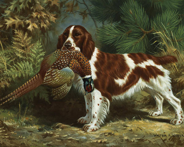 Illustration Poster featuring the photograph A Welsh Springer Spaniel Holds A Dead by Walter A. Weber