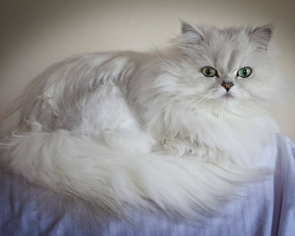 Horizontal Poster featuring the photograph A White Persian Chinchilla Cat by Carlos Davila