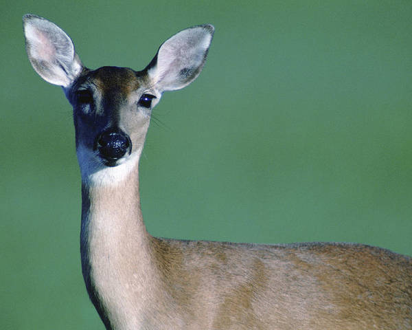 White-tailed Deer Poster featuring the photograph A White-tailed Deer On The Prairie by Joel Sartore