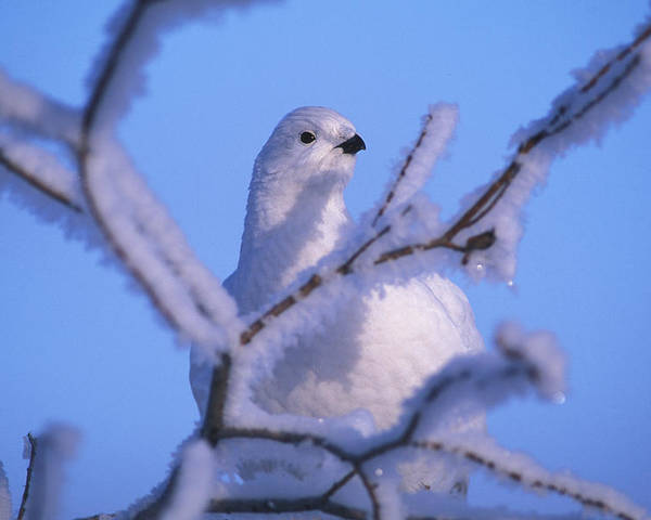 Northwest Territories Poster featuring the photograph A Willow Ptarmigan by Nick Norman
