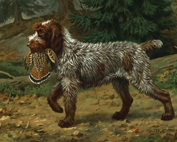 Illustration Poster featuring the photograph A Wire-haired Pointing Griffon Holds by Walter A. Weber