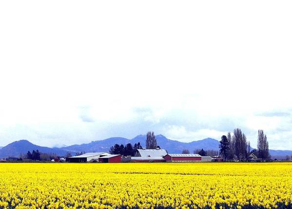 Agriculture Poster featuring the photograph Acres Of Daffodils by Will Borden