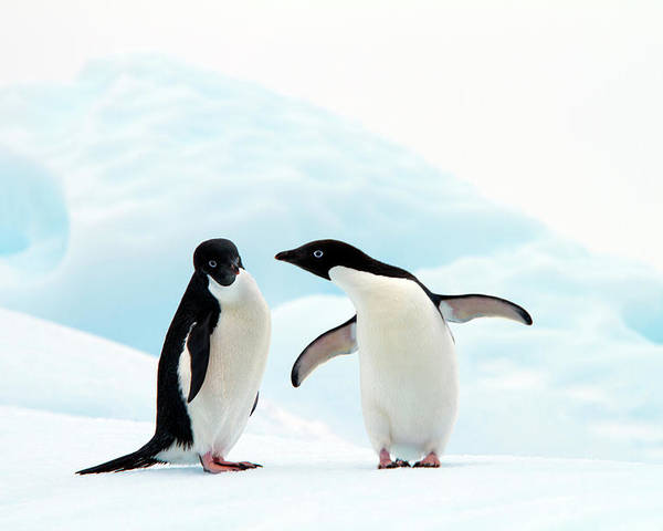 Horizontal Poster featuring the photograph Adélie Penguins by Angelika Stern