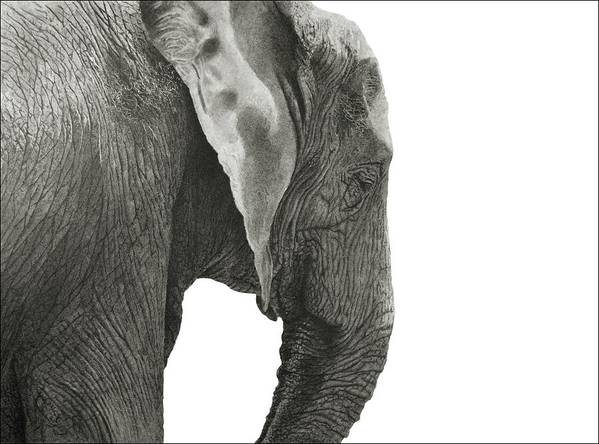 African Elephant Poster featuring the drawing African Elephant by Joe Myers