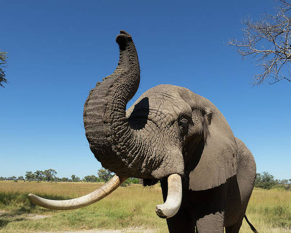 Elephant Poster featuring the photograph African Elephant by Murdoch Campbell