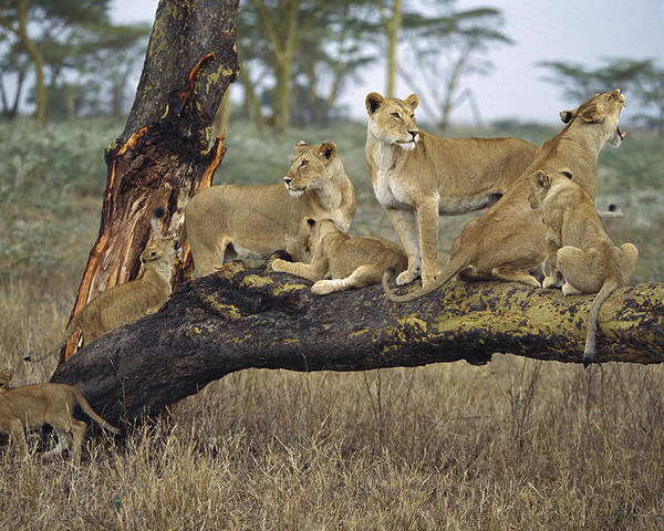 Mp Poster featuring the photograph African Lion Panthera Leo Family by Konrad Wothe