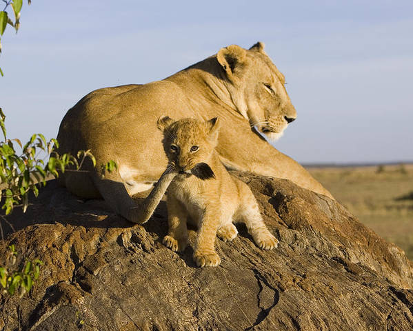 Mp Poster featuring the photograph African Lion With Mother's Tail by Suzi Eszterhas