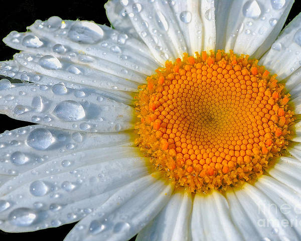 Flowers Poster featuring the photograph After The Rain by Neil Doren