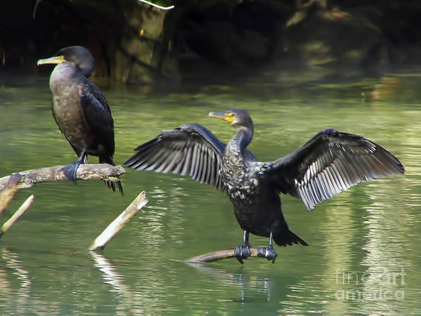 Cormorants Poster featuring the photograph Air Dry by D Hackett