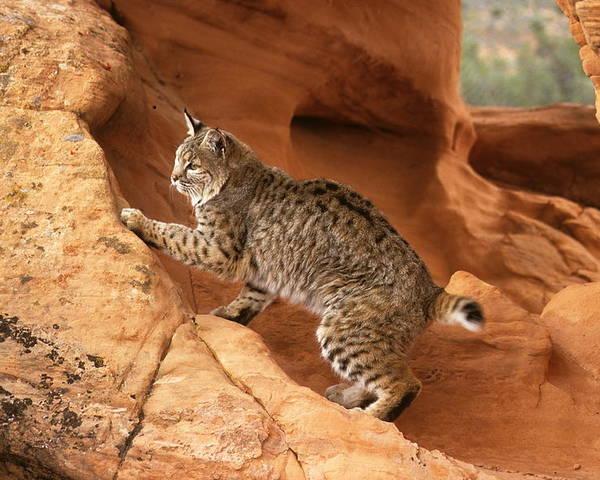 Bobcat Poster featuring the photograph Alert Bobcat by Larry Allan