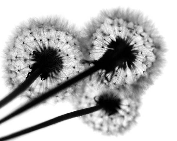 Dandelion Poster featuring the photograph All Three by Dan Holm