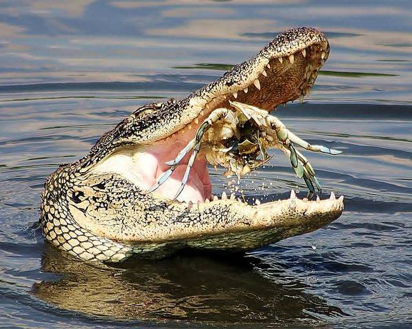 Alligator Poster featuring the photograph Alligator Catching And Cracking A Blue Crab by Paulette Thomas