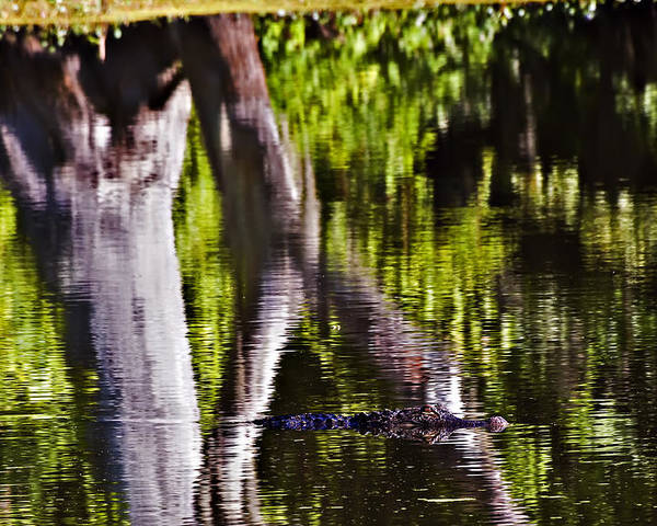 Landscape Poster featuring the photograph Alligator by Michael Whitaker