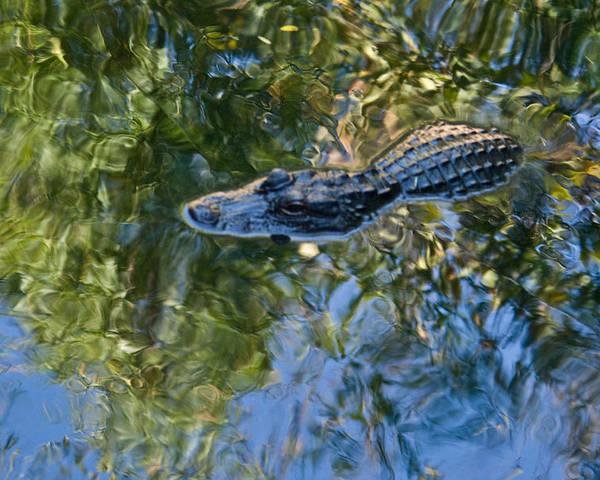 Alligator Poster featuring the photograph Alligator Stalking by Douglas Barnett