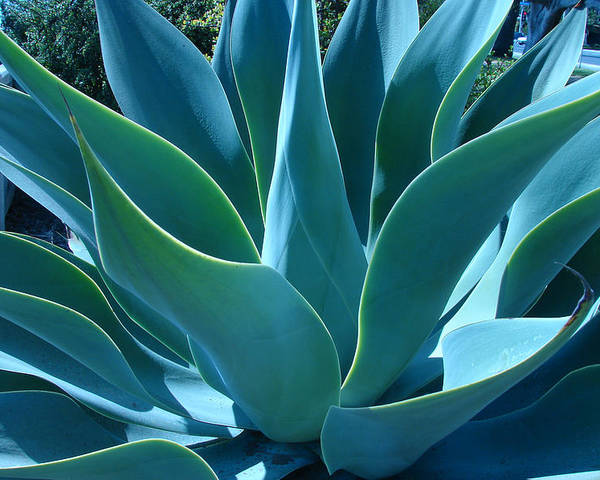 Abstract Poster featuring the photograph Aloe 2 by Lois Boyce