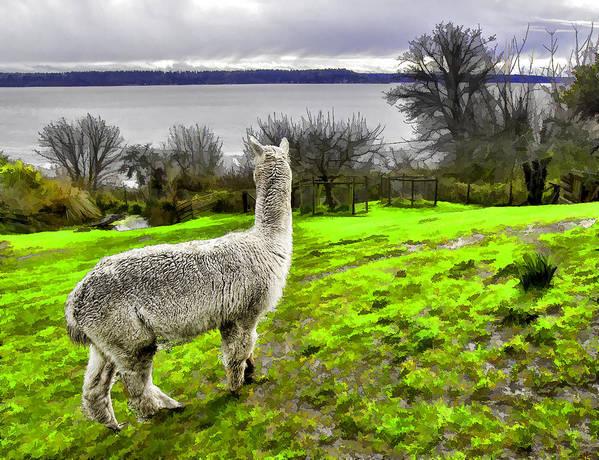 Animal Poster featuring the photograph Alpaca Enjoying The View. by Josh Manwaring