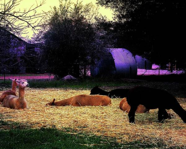 Alpacan Twilight Poster featuring the photograph Alpacan Twilight by Carolyn Parker