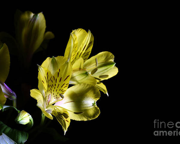 Alstroemeria Poster featuring the photograph Alstroemeria Flower by Stela Knezevic