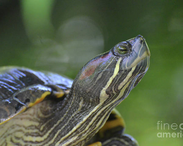 Painted-turtle Poster featuring the photograph Amazing Close-up Painted Turtle Resting by DejaVu Designs