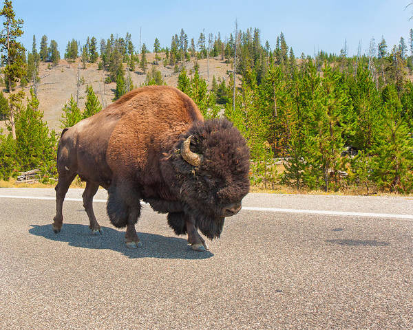 American Bison Poster featuring the photograph American Bison Sharing The Road In Yellowstone by John M Bailey