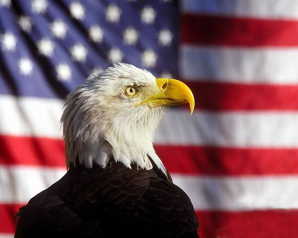 Bald Eagle Poster featuring the photograph American Eagle by David Lee Thompson