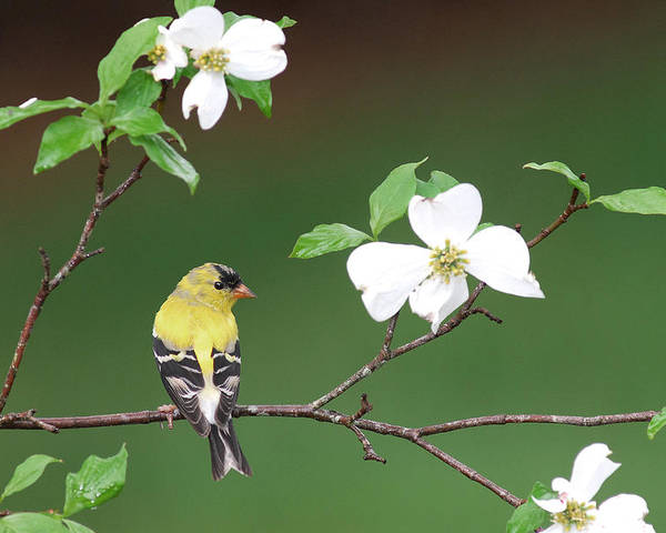 Goldfinch Poster featuring the photograph American Goldfinch In Dogwood by Alan Lenk