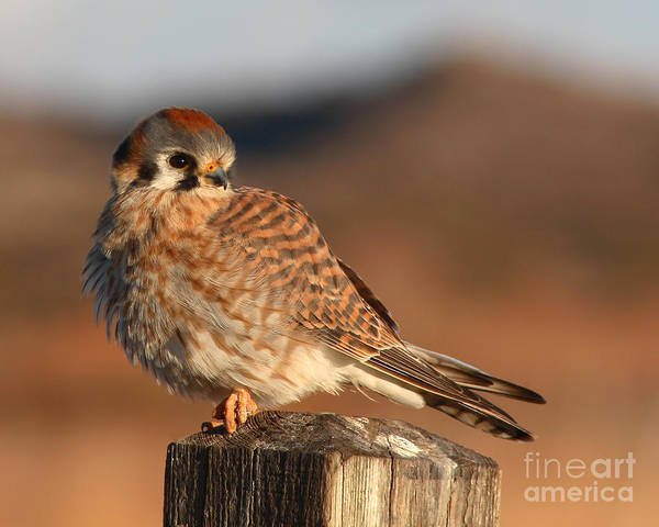 Kestrel Poster featuring the photograph American Kestrel Giving Hunting Stare by Max Allen