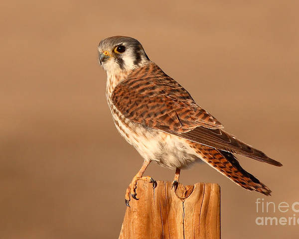 Kestrel Poster featuring the photograph American Kestrel Surveying The Surroundings by Max Allen